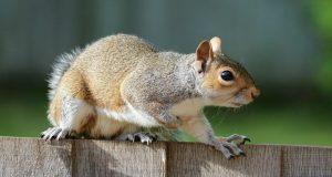 Squirrels control cost