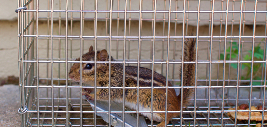 chipmunk in a cage